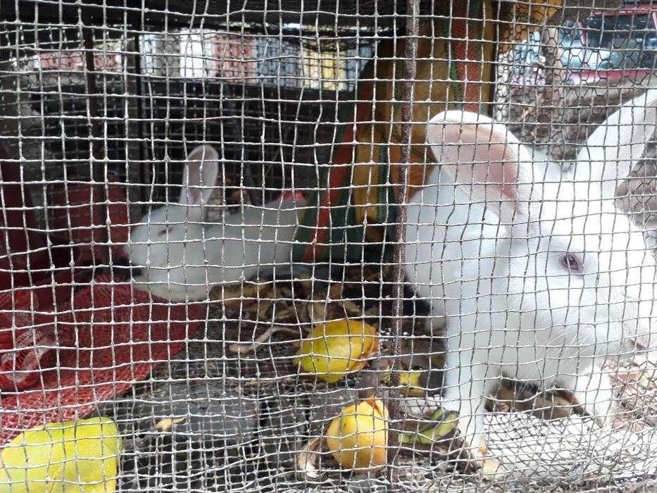 Se Vende Conejos Grandes Pareja