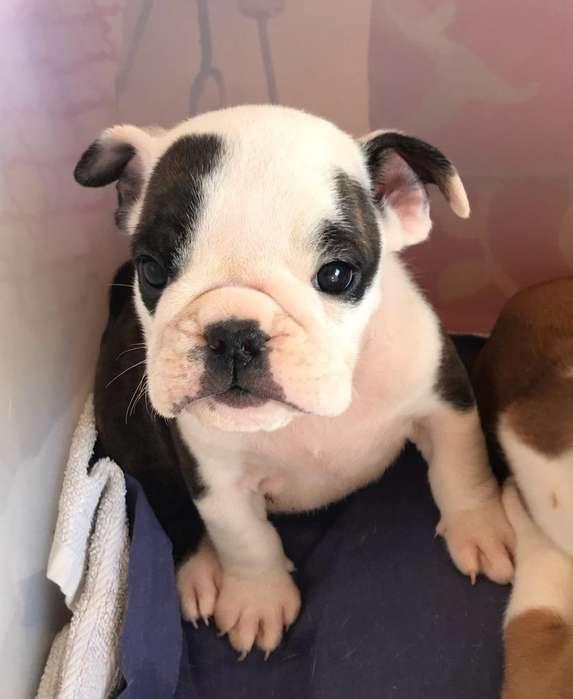 <strong>cachorro</strong> Bulldog Ingles FCA