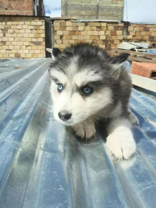 Ojos Azules Siberianos Buena Estructura