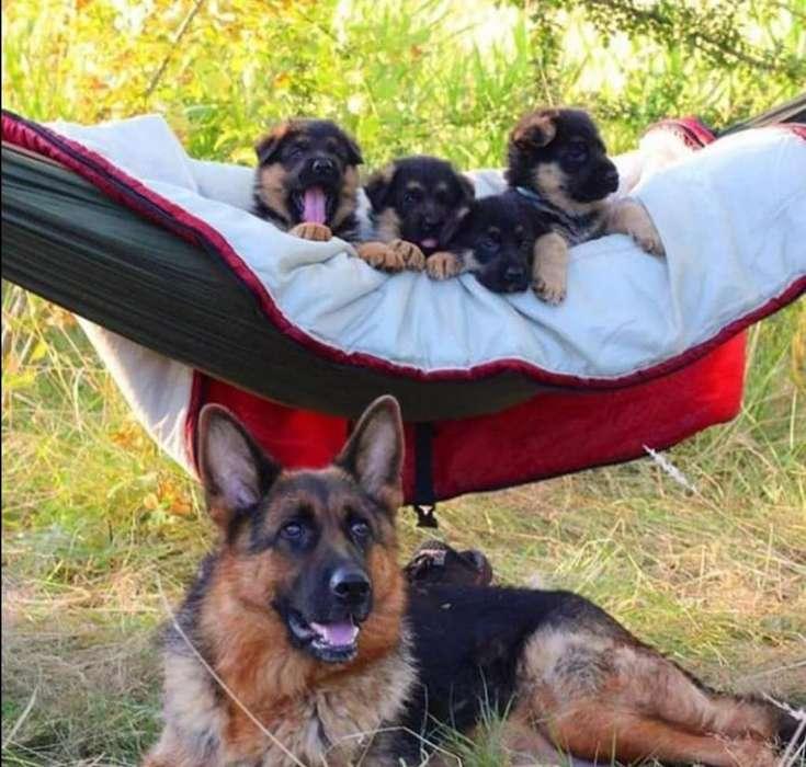 Pastor alemán hijos de perros con registro mexicano de pedigree