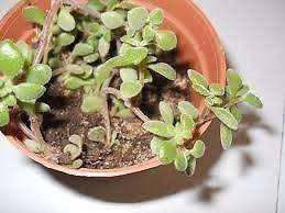 Planta Suculenta Crassula Expans Fragilis En Maceta 8