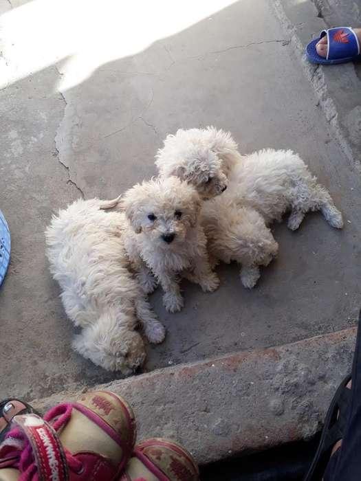 Vendo Cachorritas de Dos Meses