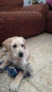 Labrador 3 meses