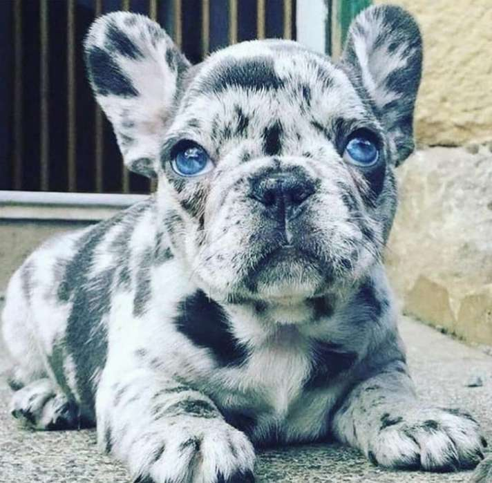 Vendo Bulldog Frances Merle