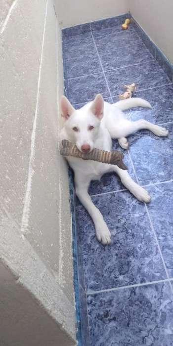 Vendo <strong>perro</strong> Husky de 7 Meses