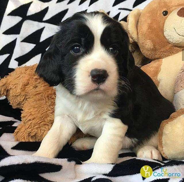 Springer Spaniel hermosos cachorros que se robarán tu corazón