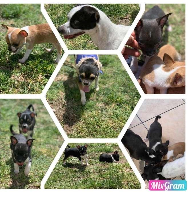 Cachorros Chihuahuas Cabeza de Manzana