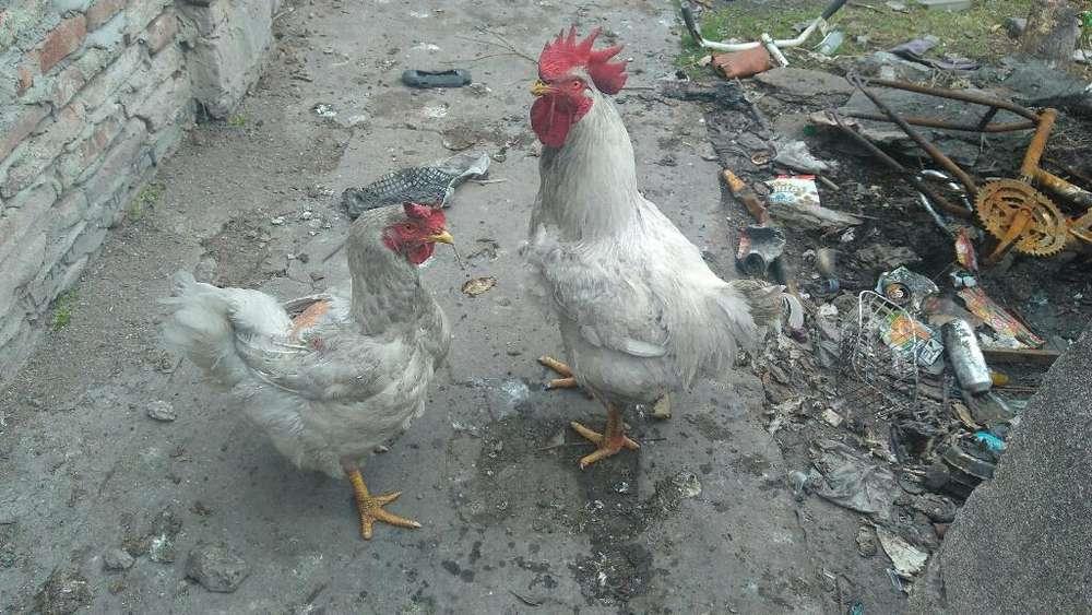 Hermoso Gallo Y Su Compañera