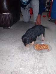 LTIMO CACHORRO COCKER SPANISH COLOR NEGRO UN MES NACIDO S150 soles