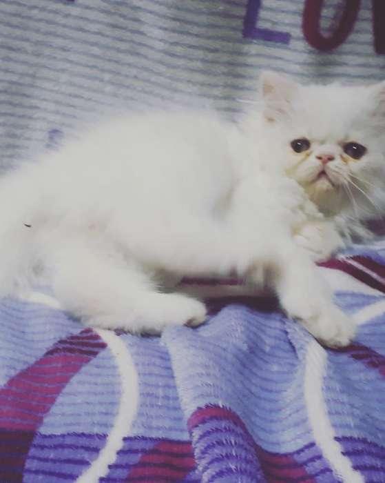 Gato Persa Extremoss