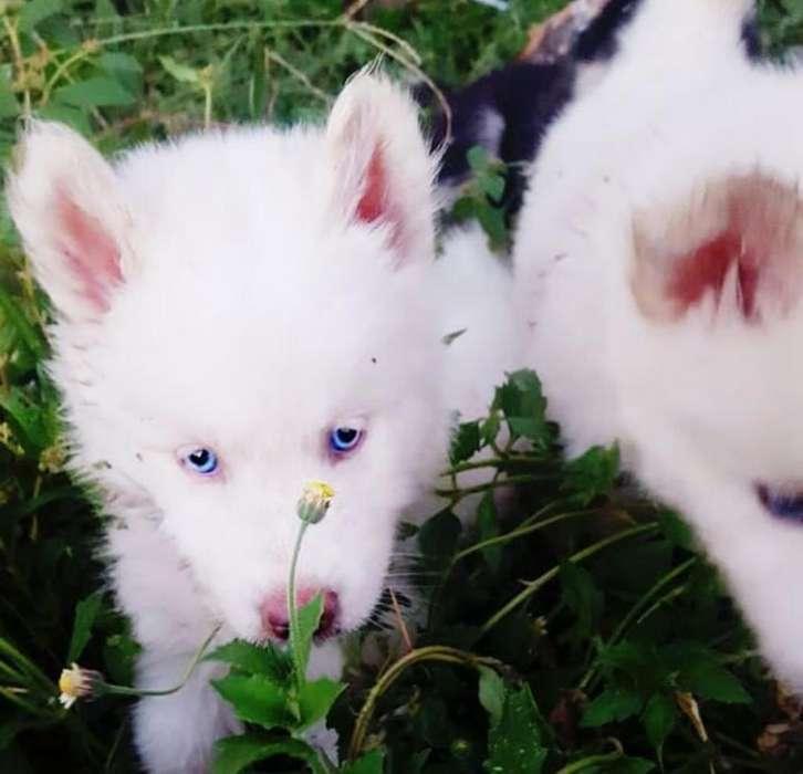 Husky Siberiano Cachorro, Envio Nacional