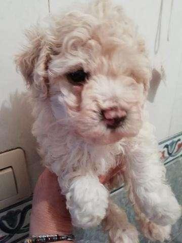 legitimos cachorros french podle mini toy 100% puros color blancon y champaña machitos y hembras disponibles