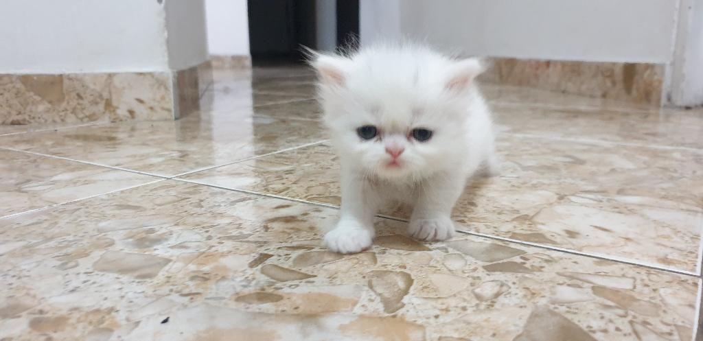 Gato Persa, 1 Mes