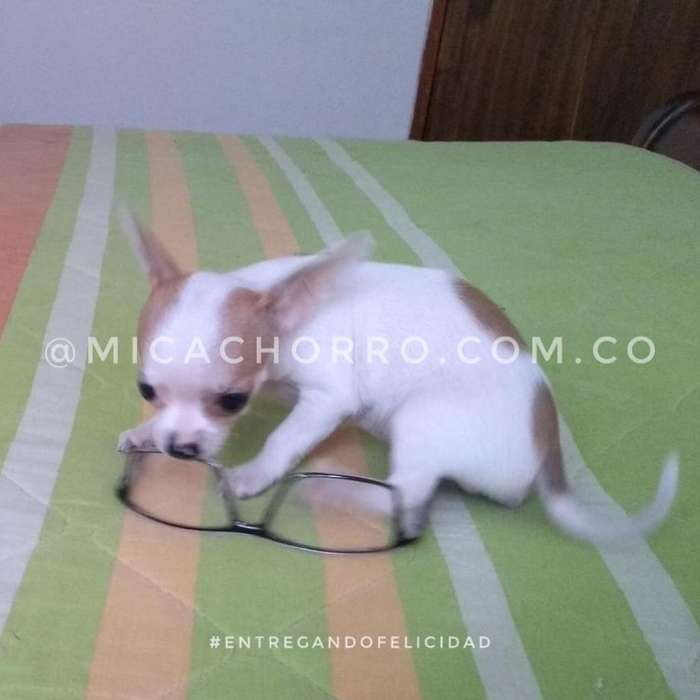 Chihuhua Macho Disponible