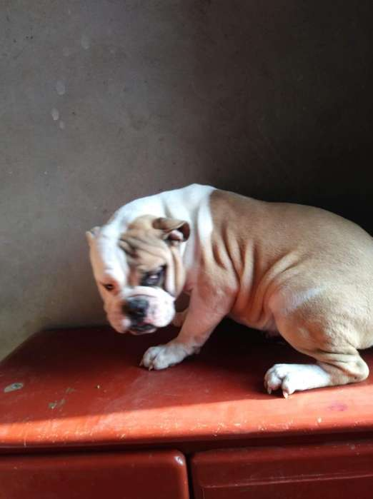 Cachorro Bulldog Ingles, Padres Pedigri