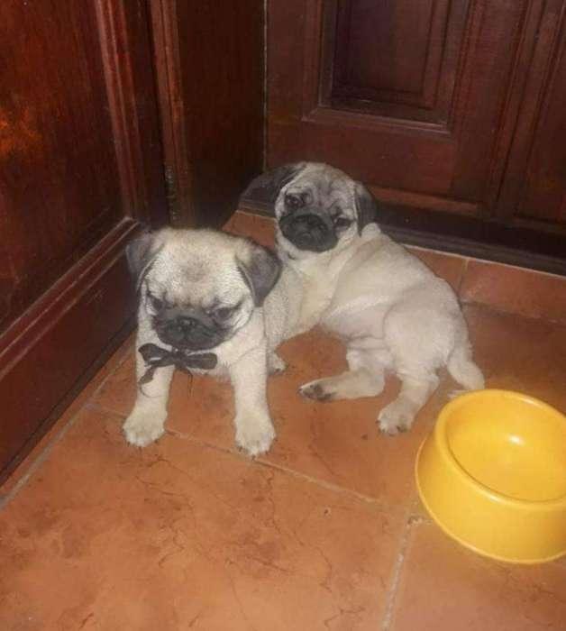 Cachorros Pug Carlino con Fca