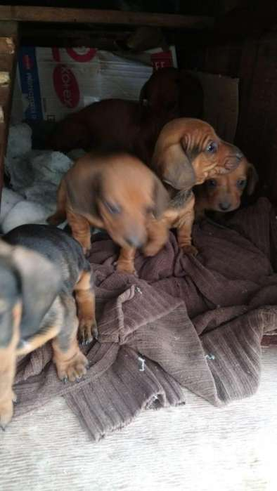 Cachorros Salchichas puros