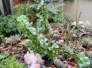 Planta Suculenta Portulacaria Afra En Maceta De Cultivo 10