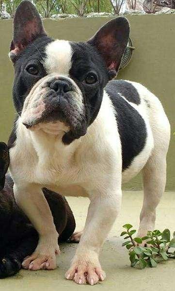 BULL DOG FRANCES OFRECE SERVICIO STUD