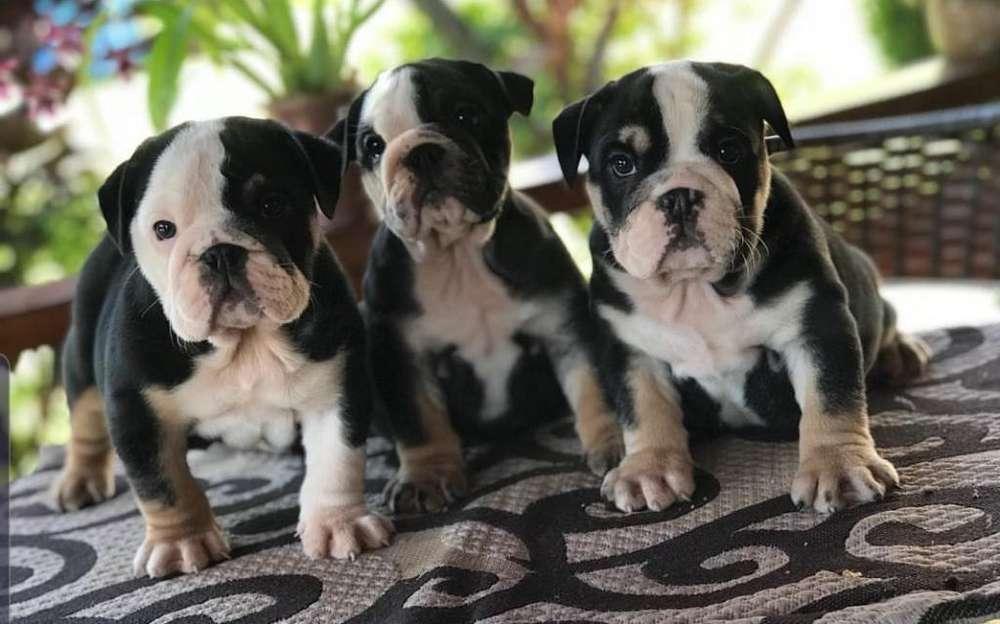 Bulldog Ingles Exotico Únicos