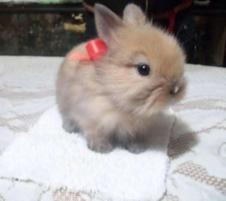 Conejo Cabeza de León Miniatura