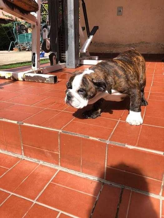 Vendo Perritos Bulldog Ingles Hembra Y M