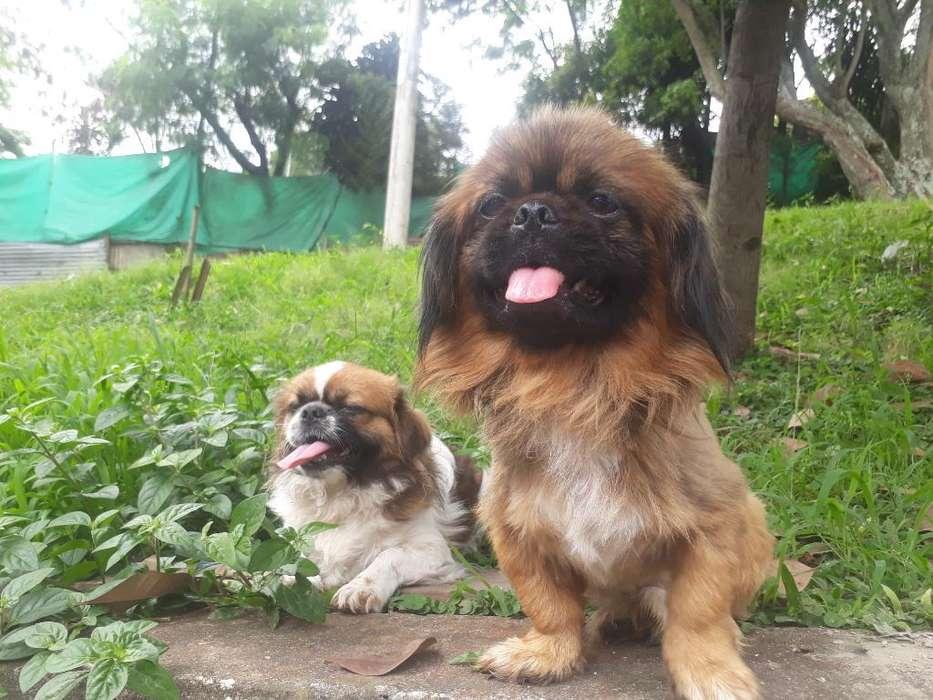 Perros Pekine