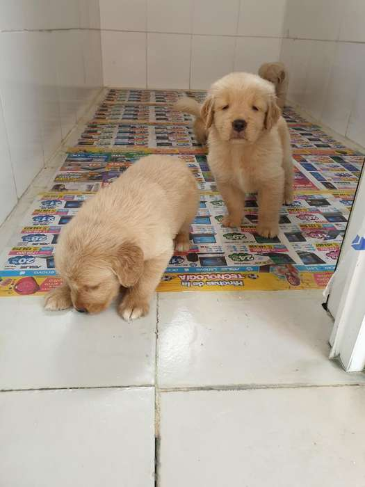 Cachorros de Raza Golden Retriever Puros