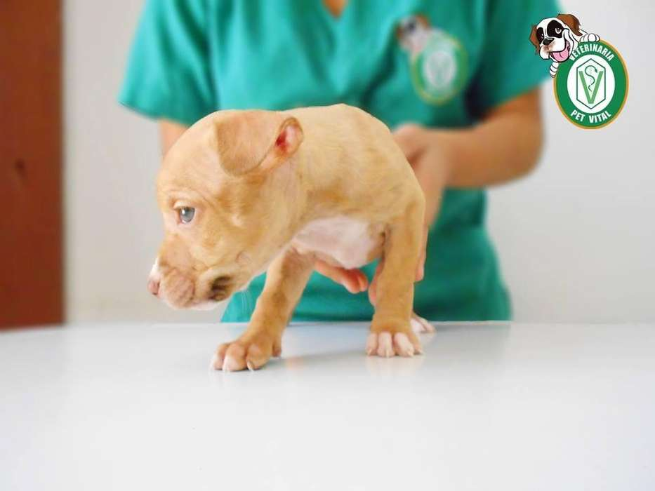 CACHORROS HERMOSOS PITBULL RED NOSE EN PET VITAL