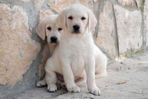 Espectacular Labrador