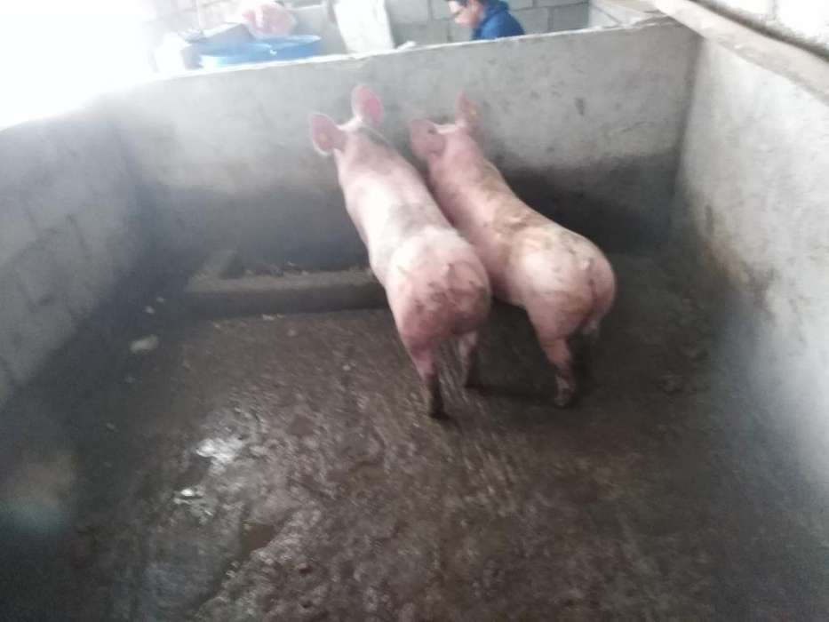 Se Vende Carne de Chancho