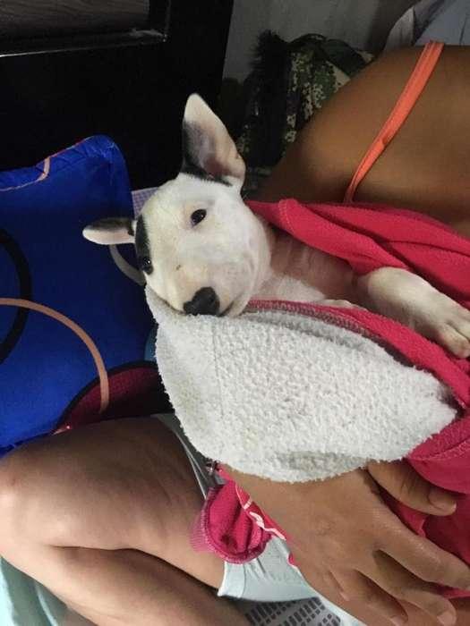 Cachorra Bull terrier de 2 meses