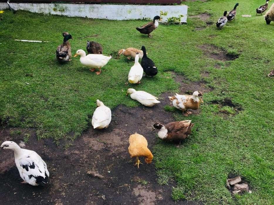 Patos de Anillo Y <strong>domesticos</strong>