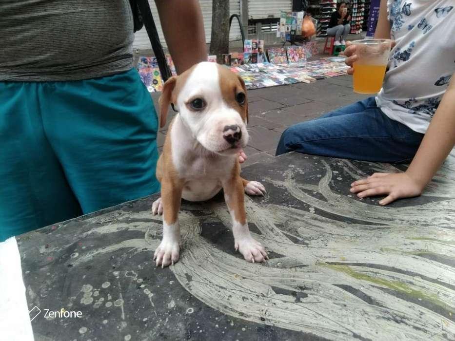 Vendo <strong>perra</strong> Pitbull