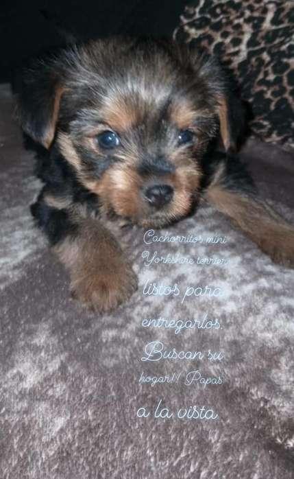 Vdo Machos Mini Yorkshire Terrier