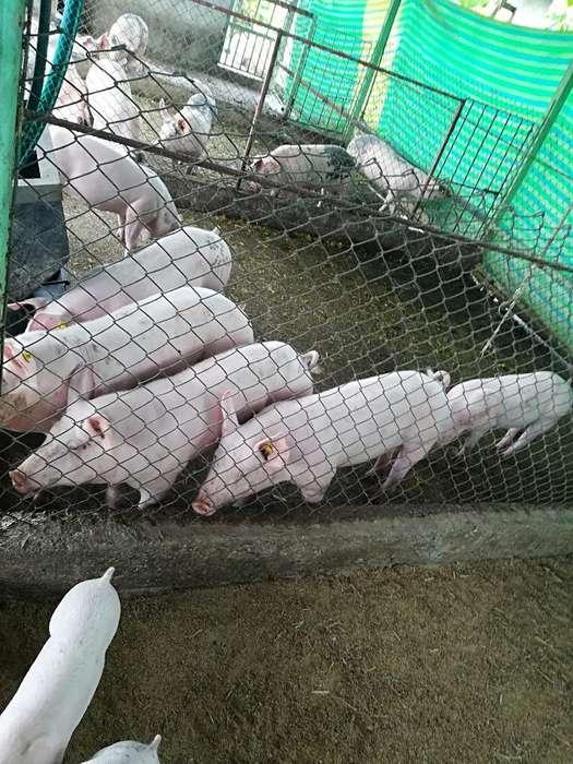 Cerdos en Venta Al por Mayor Y Menor