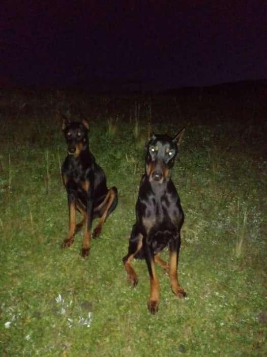 Cachorros Doberman