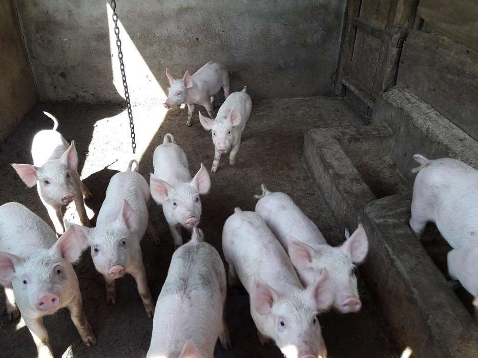 Vendo Cerdos de 45 Dias Info.3217191064