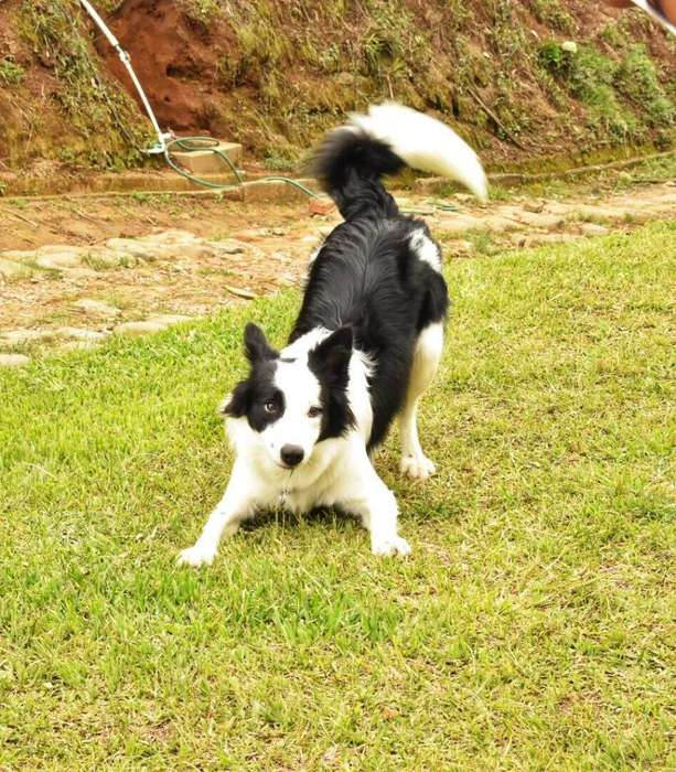 Border Collie Macho de Raza para Monta
