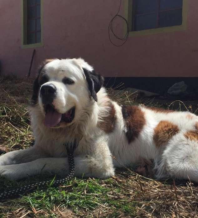Cachorros San Bernanrdo de Pelo Largo
