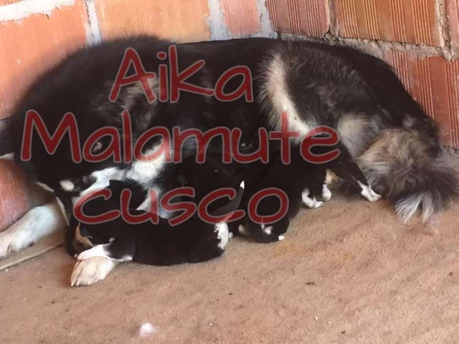 Husky - Cusco