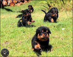 <strong>perros</strong> Rottweiler