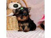 hermosos cachorros yorkshire mini disponibles