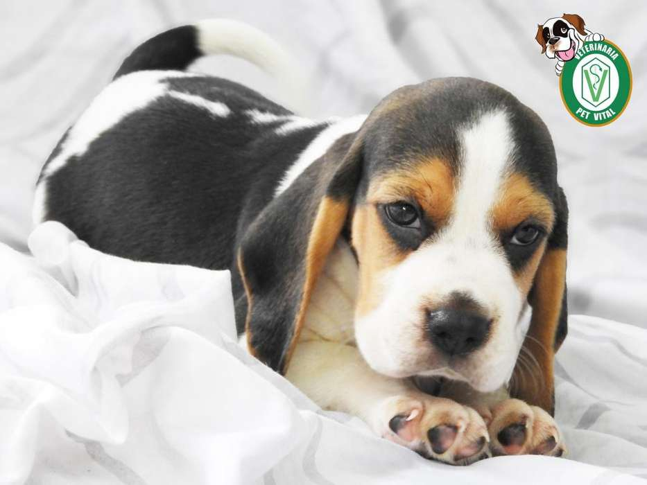 CACHORROS BELLOS BEAGLE TRICOLOR EN PET VITAL !!!
