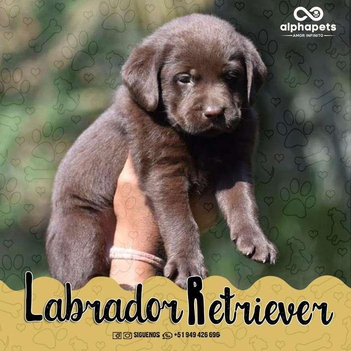 CACHORROS LABRADOR RETRIEVER- PASTOR ALEMÁN- GOLDEN RETRIEVER- ROTTWEILER-HUSKY SIBERIANO- BEAGLE- WESTY- ALPHA PETS