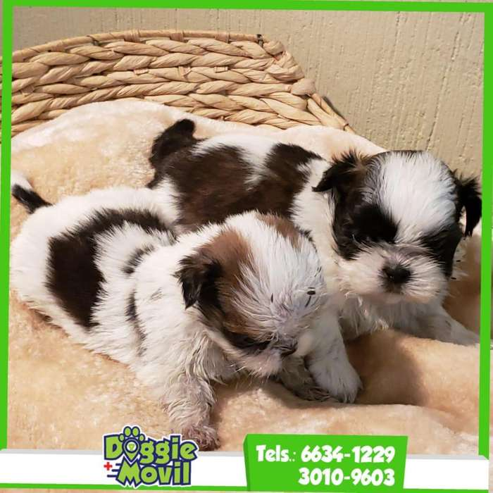 SHIH TZU PEDIGREE A