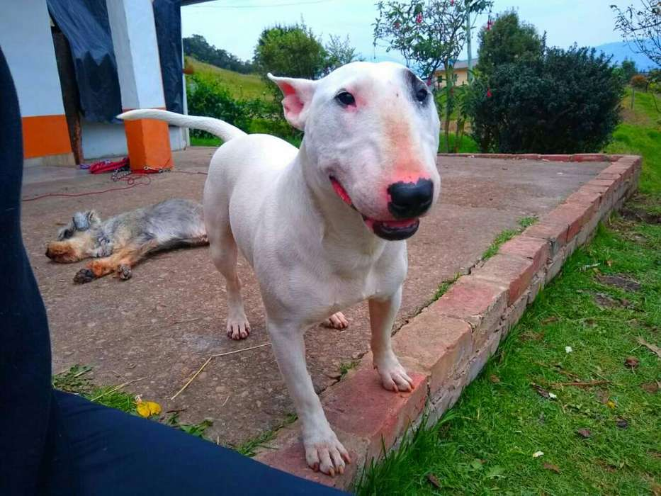 Hermoso Bull <strong>terrier</strong> Busca Novia!!