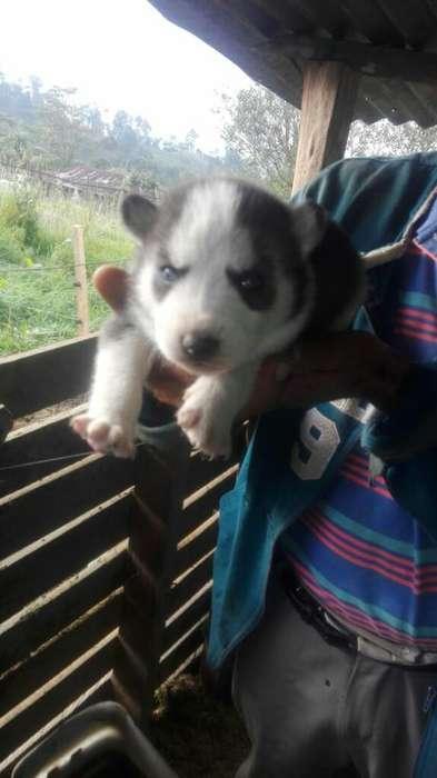 Lobo Siberiano Husky
