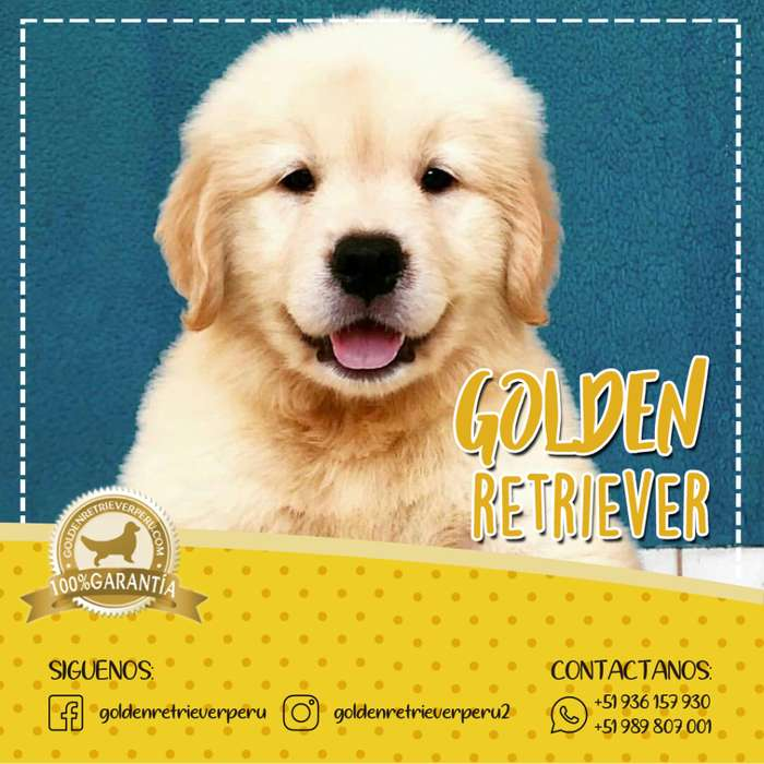 EXTRAORDINARIOS CACHORROS GOLDEN RETRIEVER EXCLUSIVOS PERU