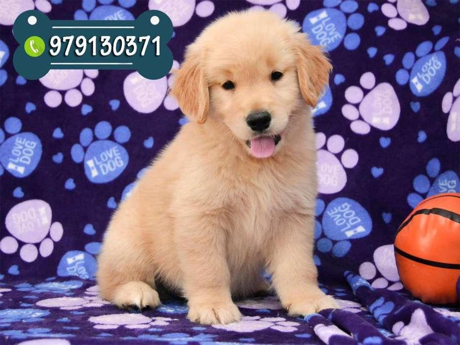 Preciosos Cachorros Golden Retriever con Vacunas *Se Acepta Tarjeta de Crédito